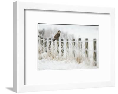 Short-Eared Owl (Asio Flammeus) Perched on a Fence Post, Worlaby Carr, Lincolnshire, England, UK-Danny Green-Framed Photographic Print