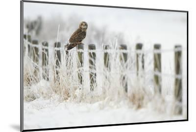 Short-Eared Owl (Asio Flammeus) Perched on a Fence Post, Worlaby Carr, Lincolnshire, England, UK-Danny Green-Mounted Photographic Print