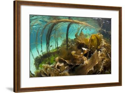 Thong Seaweed (Himanthalia Elongata) and Various Other Seaweeds in Shallows, Inner Hebrides, UK-Alex Mustard-Framed Photographic Print