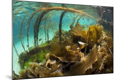 Thong Seaweed (Himanthalia Elongata) and Various Other Seaweeds in Shallows, Inner Hebrides, UK-Alex Mustard-Mounted Photographic Print