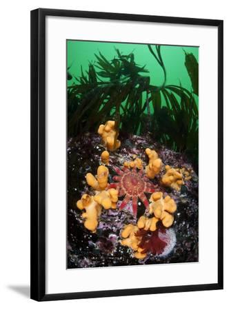 Red Sunstar (Crossaster Papposus) Amongst Dead Man's Fingers (Alcyonium Sp) Shetland Islands, UK-Alex Mustard-Framed Photographic Print