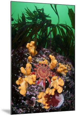 Red Sunstar (Crossaster Papposus) Amongst Dead Man's Fingers (Alcyonium Sp) Shetland Islands, UK-Alex Mustard-Mounted Photographic Print