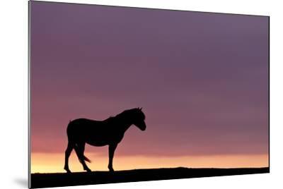 Silhouetted Dartmoor Pony (Equus Caballus) at Sunrise, Combestone Tor, Dartmoor Np, Devon, UK-Ross Hoddinott-Mounted Photographic Print