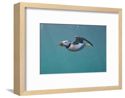 Puffin (Fratercula Arctica) Swimming Underwater, Farne Islands, Northumberland, UK, July-Alex Mustard-Framed Photographic Print