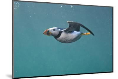 Puffin (Fratercula Arctica) Swimming Underwater, Farne Islands, Northumberland, UK, July-Alex Mustard-Mounted Photographic Print