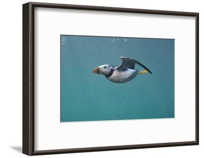 Puffin (Fratercula Arctica) Swimming Underwater, Farne Islands, Northumberland, UK, July-Alex Mustard-Framed Photographic Print