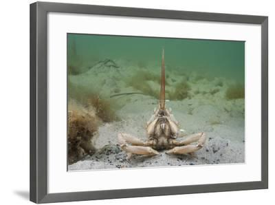 Masked Crab (Corystes Cassivelaunus) on Sandy Seabed, Studland Bay, Dorset, UK, May-Alex Mustard-Framed Photographic Print
