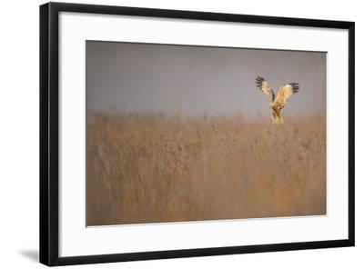Marsh Harrier (Circus Aeruginosus) Adult Male in Flight Hunting over Reedbed at Dawn, Norfolk, UK-Andrew Parkinson-Framed Photographic Print