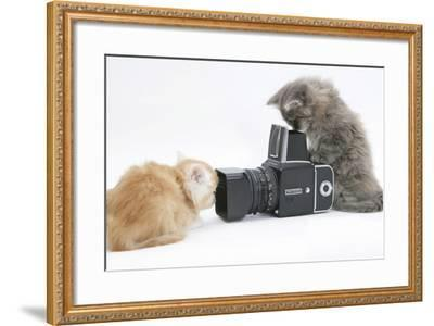 Two Maine Coon Kittens, 8 Weeks, Playing with a Hasselblad Camera-Mark Taylor-Framed Photographic Print