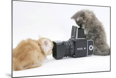 Two Maine Coon Kittens, 8 Weeks, Playing with a Hasselblad Camera-Mark Taylor-Mounted Photographic Print