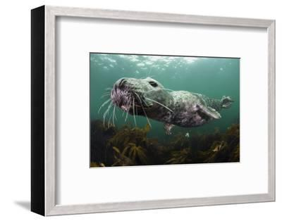 Female Grey Seal Juvenile Swimming over Kelp, Off Farne Islands, Northumberland-Alex Mustard-Framed Photographic Print