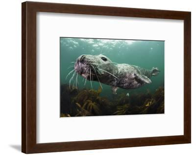 Female Grey Seal Juvenile Swimming over Kelp, Off Farne Islands, Northumberland-Alex Mustard-Framed Photographic Print