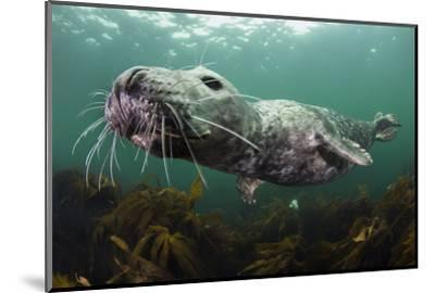 Female Grey Seal Juvenile Swimming over Kelp, Off Farne Islands, Northumberland-Alex Mustard-Mounted Photographic Print
