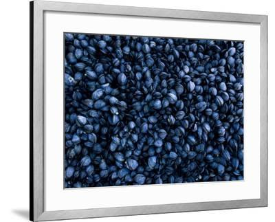 Mussels Densely Pack Together on Rocks at Low Tide, Isle of Staffa, Inner Hebrides, Scotland, UK-Andy Sands-Framed Photographic Print