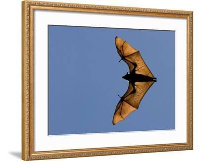 Madagascar Fruit Bat Flying Fox Berenty Reserve, Madagascar-Edwin Giesbers-Framed Photographic Print