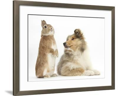 Rough Collie Puppy, 14 Weeks, with Sandy Netherland Dwarf-Cross Rabbit-Mark Taylor-Framed Photographic Print