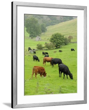 Domestic Cattle on Grazing Meadows, Peak District Np, Derbyshire, UK-Gary Smith-Framed Photographic Print