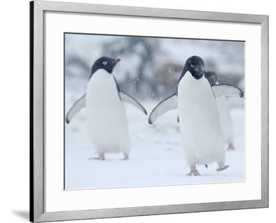 Two Adelie Penguins Walking on Snow, Antarctica-Edwin Giesbers-Framed Photographic Print