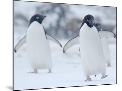 Two Adelie Penguins Walking on Snow, Antarctica-Edwin Giesbers-Mounted Photographic Print