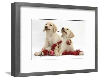 Yellow Labrador Retriever Bitch Puppies, 10 Weeks, Playing with Christmas Decorations-Mark Taylor-Framed Photographic Print
