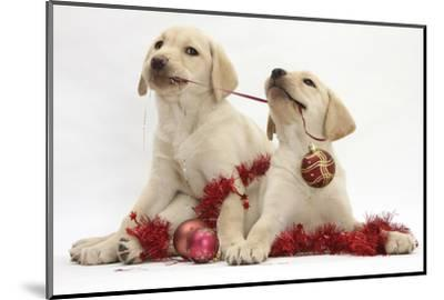 Yellow Labrador Retriever Bitch Puppies, 10 Weeks, Playing with Christmas Decorations-Mark Taylor-Mounted Photographic Print