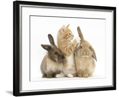 Ginger Kitten, 7 Weeks, Playing with Ear of Young Lionhead-Lop Rabbits-Mark Taylor-Framed Photographic Print