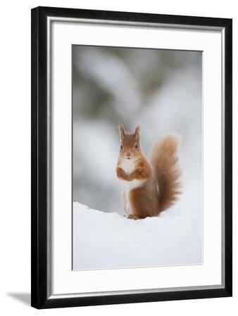 Red Squirrel (Sciurus Vulgaris) Adult in Snow, Cairngorms National Park, Scotland, February-Mark Hamblin-Framed Photographic Print