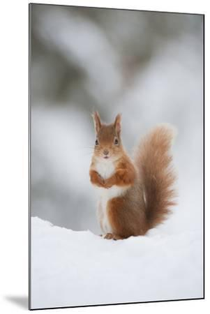 Red Squirrel (Sciurus Vulgaris) Adult in Snow, Cairngorms National Park, Scotland, February-Mark Hamblin-Mounted Photographic Print