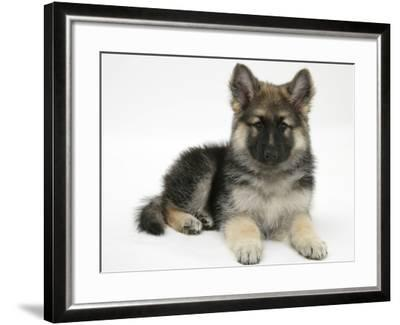 German Shepherd Dog Bitch Pup, Echo, Lying with Head Up-Mark Taylor-Framed Photographic Print