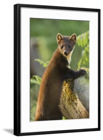 Pine Marten Juvenile in Woodland, Beinn Eighe National Nature Reserve, Wester Ross, Scotland, July-Mark Hamblin-Framed Photographic Print