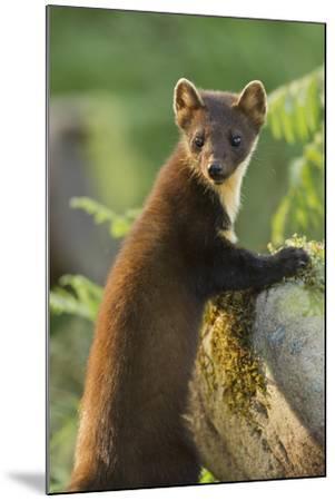 Pine Marten Juvenile in Woodland, Beinn Eighe National Nature Reserve, Wester Ross, Scotland, July-Mark Hamblin-Mounted Photographic Print