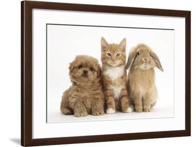 Peekapoo (Pekingese X Poodle) Puppy, Ginger Kitten and Sandy Lop Rabbit, Sitting Together-Mark Taylor-Framed Photographic Print