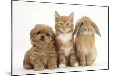 Peekapoo (Pekingese X Poodle) Puppy, Ginger Kitten and Sandy Lop Rabbit, Sitting Together-Mark Taylor-Mounted Photographic Print