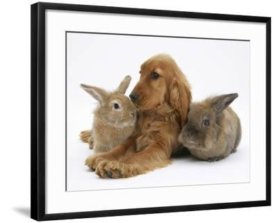Red - Golden English Cocker Spaniel, 5 Months, with Two Rabbits-Mark Taylor-Framed Photographic Print