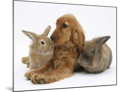 Red - Golden English Cocker Spaniel, 5 Months, with Two Rabbits-Mark Taylor-Mounted Photographic Print
