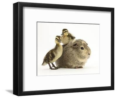 Guinea Pig with Two Mallard Ducklings, One Sitting on its Back-Mark Taylor-Framed Photographic Print