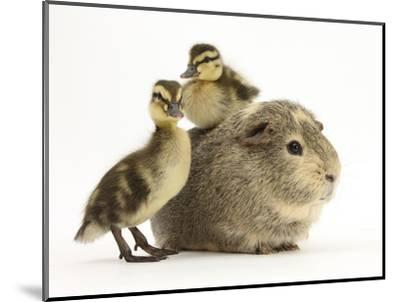 Guinea Pig with Two Mallard Ducklings, One Sitting on its Back-Mark Taylor-Mounted Photographic Print