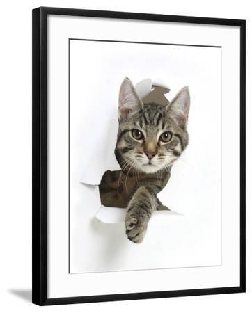 Tabby Kitten, Fosset, 4 Months , Breaking Through Paper-Mark Taylor-Framed Photographic Print
