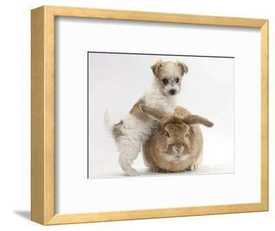 Bichon Frise Cross Yorkshire Terrier Puppy, 6 Weeks, and Sandy Rabbit-Mark Taylor-Framed Photographic Print