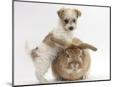 Bichon Frise Cross Yorkshire Terrier Puppy, 6 Weeks, and Sandy Rabbit-Mark Taylor-Mounted Photographic Print