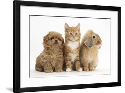 Peekapoo Puppy, Ginger Kitten and Sandy Lop Rabbit-Mark Taylor-Framed Photographic Print