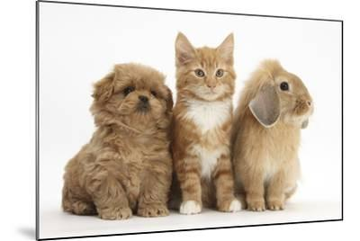 Peekapoo Puppy, Ginger Kitten and Sandy Lop Rabbit-Mark Taylor-Mounted Photographic Print