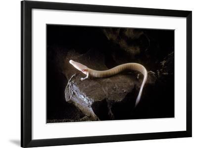 Olm (Proteus Anguinus) on Rock, Oliero Cave, Valle Del Brenta, Commune Di Valstagna, Northern Italy- Hodalic-Framed Photographic Print