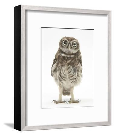 Portrait of a Young Little Owl (Athene Noctua)-Mark Taylor-Framed Photographic Print