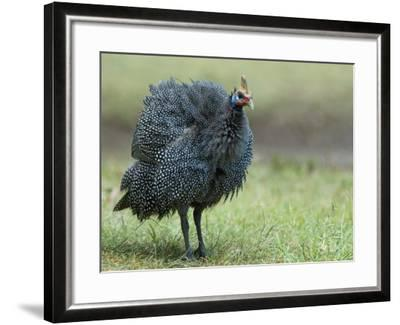 Helmeted Guineafowl Portrait with Feather Fluffed Up, Tanzania-Edwin Giesbers-Framed Photographic Print
