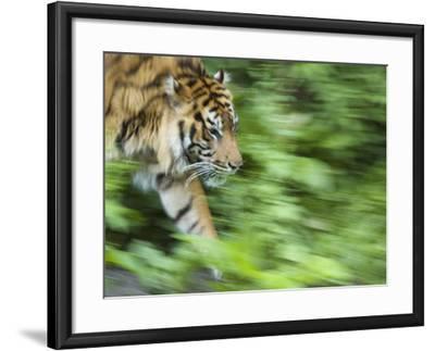 Sumatran Tiger Walking-Edwin Giesbers-Framed Photographic Print