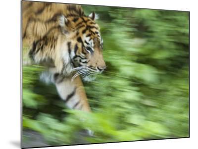 Sumatran Tiger Walking-Edwin Giesbers-Mounted Photographic Print