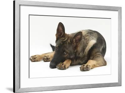 German Shepherd Dog Lying with His Chin on the Floor-Mark Taylor-Framed Photographic Print