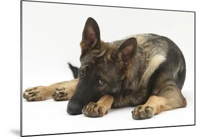 German Shepherd Dog Lying with His Chin on the Floor-Mark Taylor-Mounted Photographic Print