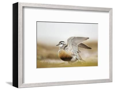 Adult Eurasian Dotterel (Charadrius Morinellus) with Wings Partially Raised, Cairngorms Np, UK-Mark Hamblin-Framed Photographic Print